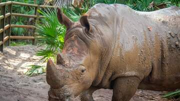 Mike and Mindy - Two-Year-Old Falls into Rhino Exhibit at Brevard Zoo!