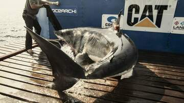 Mike and Mindy - Katharine the Great White Shark Pings off the Space Coast!