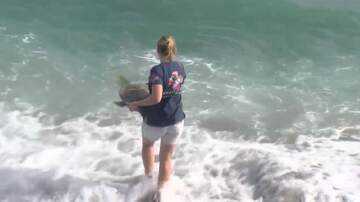 Florida Front Row - Local Sea Turtle Injured By Shark Returns To The Ocean Today