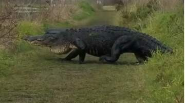Ditch - Holy Gator...That's HUGE!