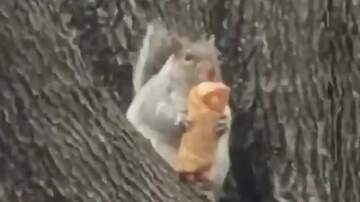 Frank Bell - Squirrel Eating an Egg Roll