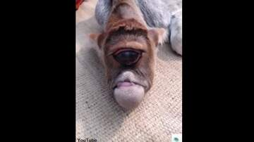 Coast to Coast AM with George Noory - Video: Cyclops Cow Born in India