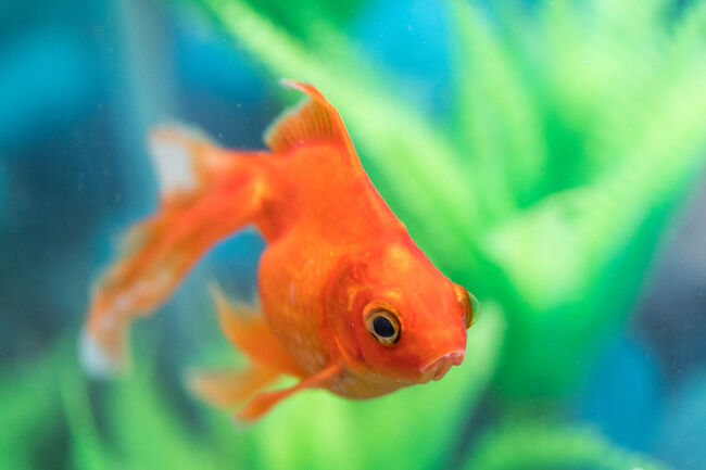 Fish Getty RF