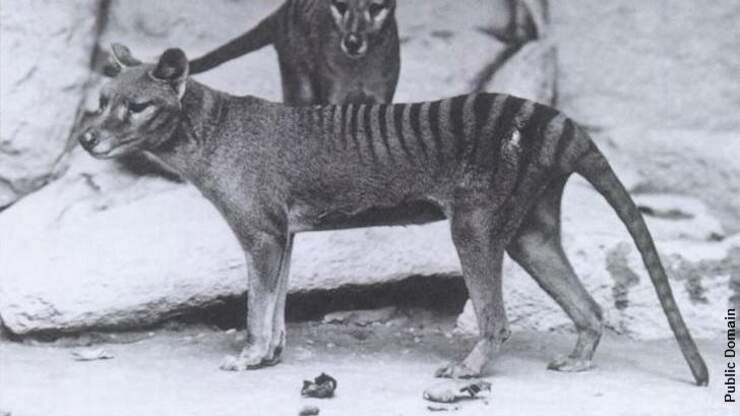 Environmental DNA Company Develops Tasmanian Tiger Test