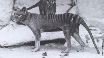 Coast to Coast AM with George Noory - Unearthed Thylacine Skin Sold for Whopping Sum