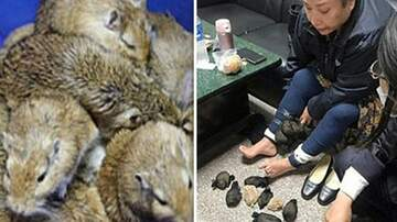 Klinger - Woman Attempted To Smuggle 24 Gerbils By Hiding Under Her Skirt