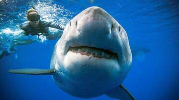 Frank Bell - Diver Swims Calmly With 20 Foot Great White