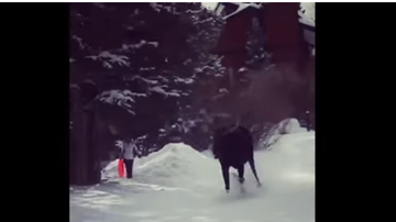 BC - Video Captures Moose Chasing Skiers At Resort