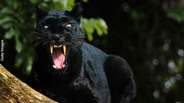 Coast to Coast AM with George Noory - Panther Tries to Attack Man in England?