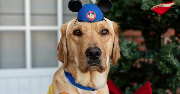 This Service Dog's Disneyland Trip Will Melt Your Heart!