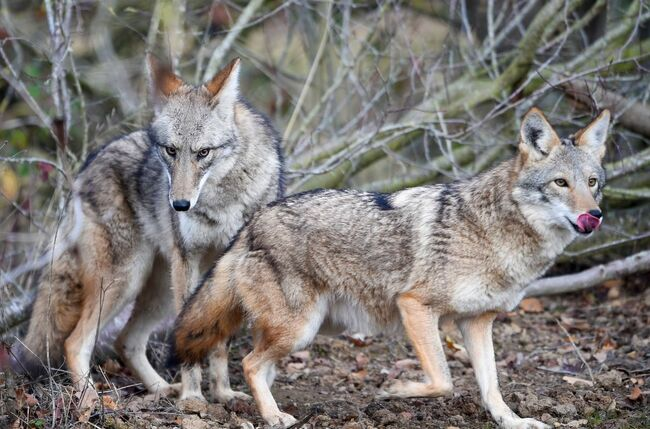 coyotes - getty images