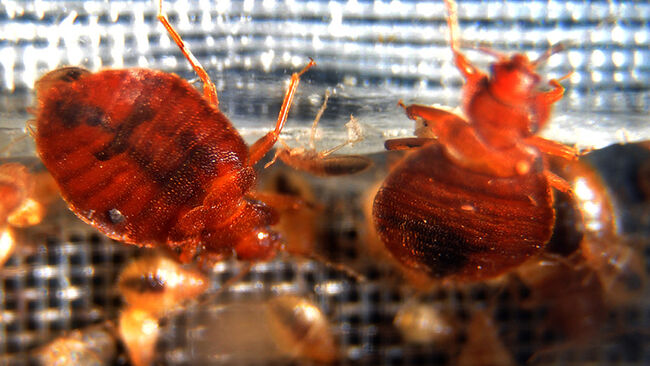 Bed bugs crawl around in a container on display during the 2nd National Bed Bug Summit in Washington, DC