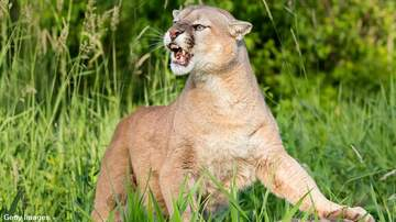 Coast to Coast AM with George Noory - Colorado Jogger Kills Mountain Lion in Self-Defense