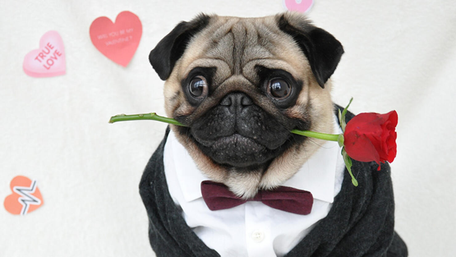 Insta-Famous Dog Nutello pictured in a Valentine's Day themed suit