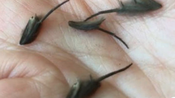 Qui West - Creepy Creatures Man Found Wiggling On Kitchen Floor Has Experts Stumped!