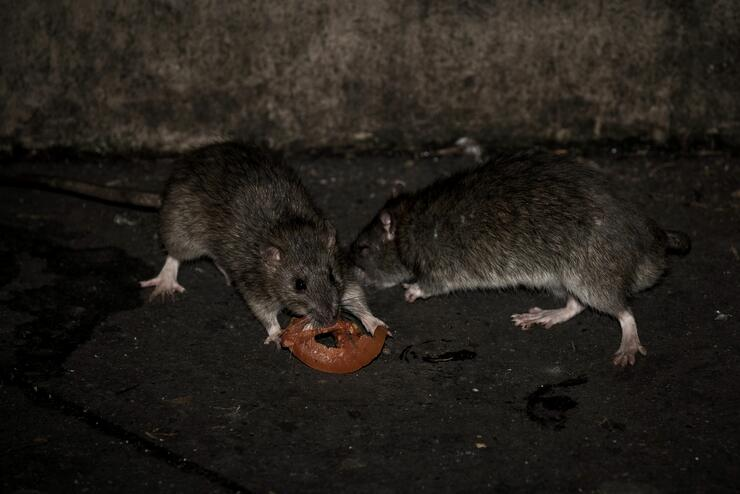Los angeles tackles rat problem after typhus outbreak