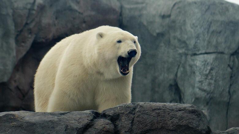 Polar bear yawning, looking over rocky ledge