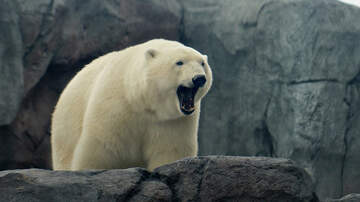 Weird News - State Of Emergency Declared After 50 Polar Bears Invade Russian Village
