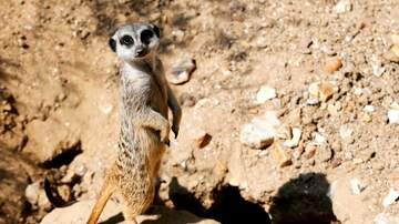 Sisanie - A Texas Zoo Will Feed Your Ex To A Meerkat... Kind Of