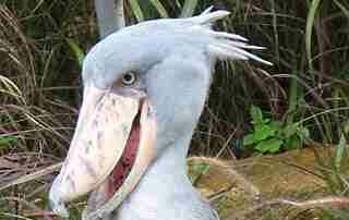 Monsters - SHOEBILL STORKS ARE AMAZING!!