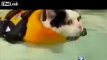 JB - Fat Cat Swims To Lose Weight: News Anchor Can't Stop Laughing