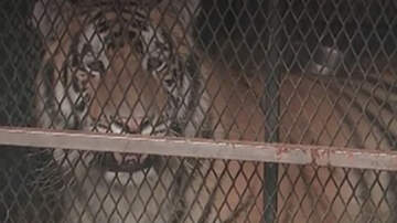 Weird News - Man Goes To Smoke Pot In Abandoned House, Finds Tiger