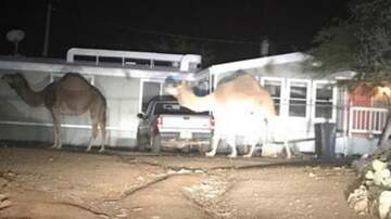 Tucson Happenings - Camels Found In Tucson Arizona