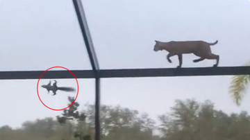 BC - Watch Bobcat Chase Squirrel Across Screened-In Pool