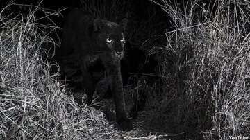 Coast to Coast AM with George Noory - Black Leopard Photographed in Africa for the First Time in Over a Century