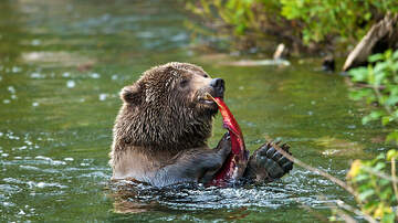Tamo - Wildlife Center Will Name Salmon After Your Ex And Feed It To A Bear
