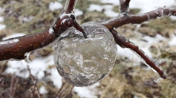 Weird News - Ghost Apples Beautifully Haunt Michigan Farm