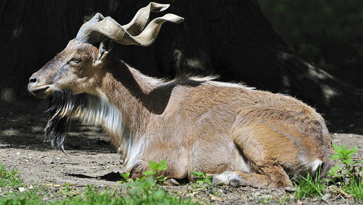 Markhor wild goat portrait (Capra falconeri), native to Asia