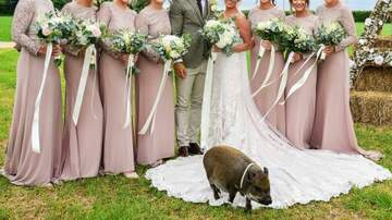 Klinger - Pigs RULE! Micropig Photobombs Wedding Photos!
