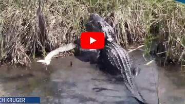 image for Gator vs Python In Florida