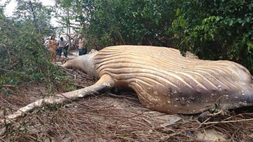Weird, Odd and Bizarre News - Dead Humpback Whale Discovered In Amazon Forest Puzzles Scientists