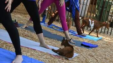 Catalina - Jax FINALLY Has Goat Yoga