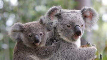 Charlie Munson - Experts Say Koalas 'Functionally Extinct'