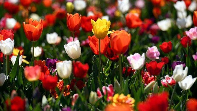 100,000 Tulips Are Coming To San Francisco And They're Free For You!