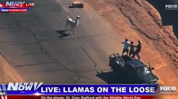 image for Happy anniversary to llamas on the loose