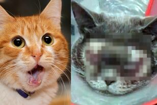Woman Pays $1,500 To Get Her 'Ugly' Cat Plastic Surgery