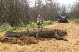 Wildlife Officials Discover Massive 700-lb Gator in Southwest Georgia