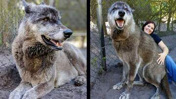 Monsters - WHOA!! WOLF DOGS ARE AWESOME!!!