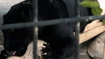 Eddie & Rocky - Woman Mauled By Jaguar Says Zoo Needs To Improve Safety