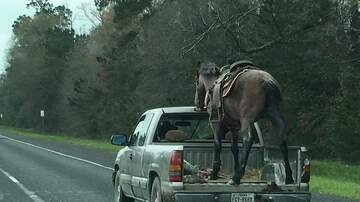 Weird, Odd and Bizarre News - Horse Struggles to Stand Still in Pickup Truck While Traveling Down Highway