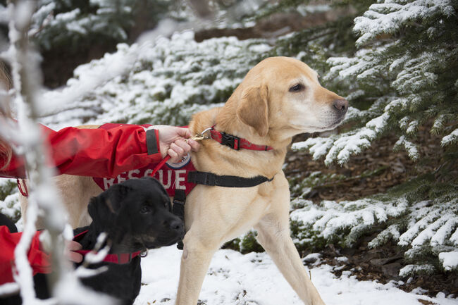 Labrador Retriever Dogs on  Rescue Mission Training with handler