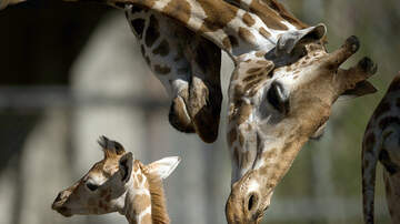 Jesse Lozano - April the Giraffe Is About to Give Birth Again