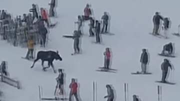 Tim Palmer - Next Time You're Skiing, Try To Hit The Slopes, Not The Moose!