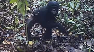 Coast to Coast AM with George Noory - Watch: Study Captures Wild Great Apes Reacting to Camera Traps