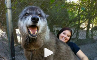 Buzzing - Yuki The Wolf Was Saved From A Kill Shelter And Has Stolen The Worlds Heart