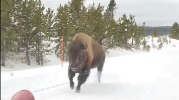 Tim Palmer - Who Knew Bison Could Run So Fast?